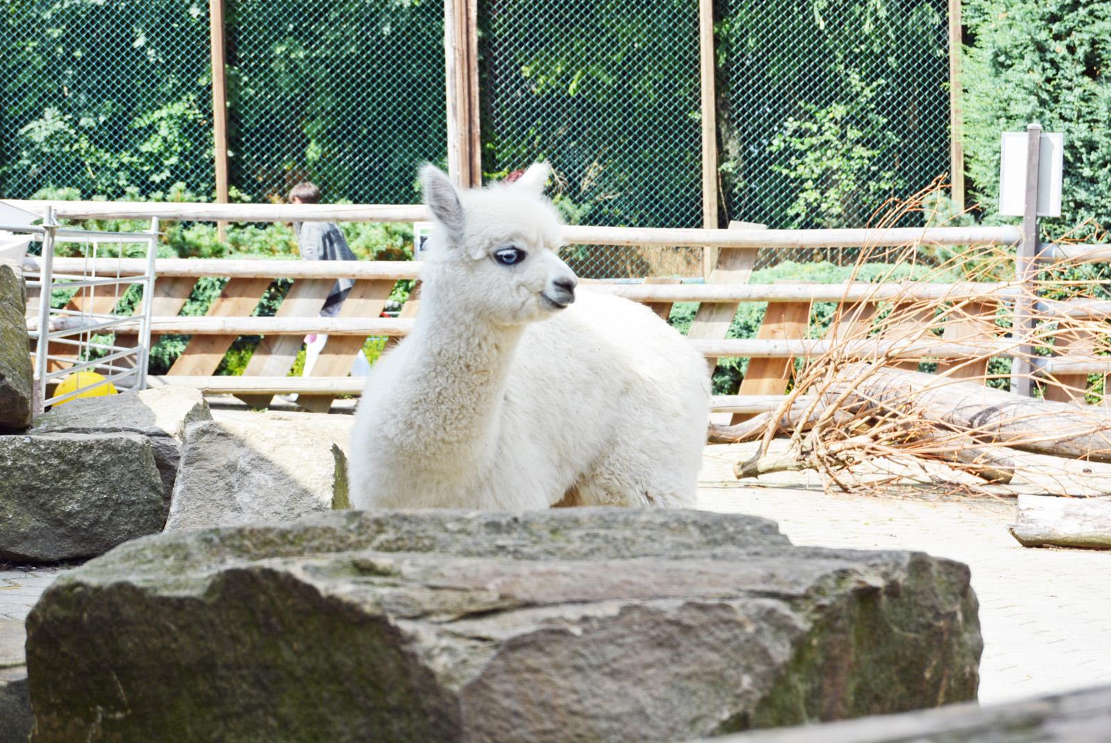 Die SPD-Ratsfraktion übernimmt 2016/17 die Patenschaft für Alpaka-Jungtier Heidi im Bochumer Tierpark. Am Patenschaftstag am Samstag (3. September 2016) erhielt die Fraktion die Urkunde.
